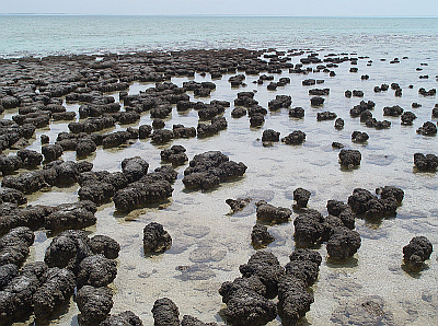 Figure 1: Stromatolites in Shark Bay, Australia (Source:Wikipedia).