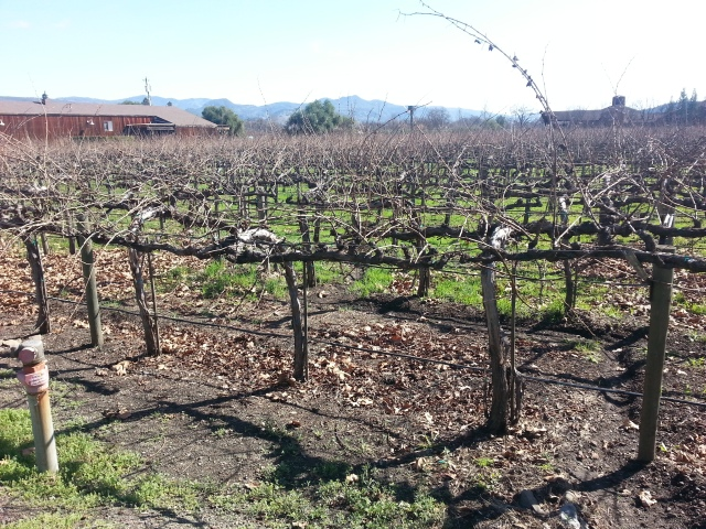 Figure 1: Grape Vines at Cakebread Cellars.